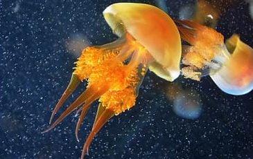 为什么海蜇会螫人?