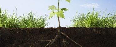 为什么植物的根向下生长,茎向上生长?