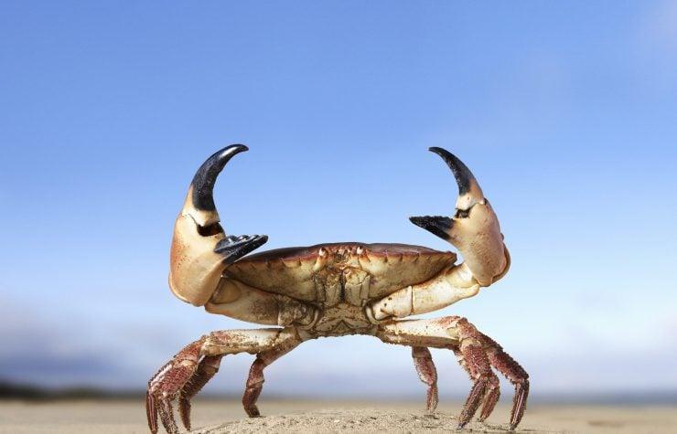 为什么螃蟹要横着走?