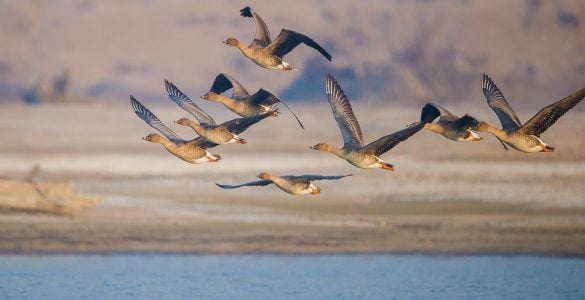 秋天为什么大雁往南飞?