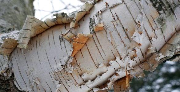 """为什么说""""树怕剥皮""""?"""