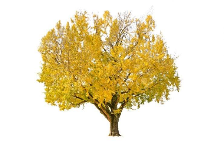 """为什么银杏树有""""活化石""""之称?"""