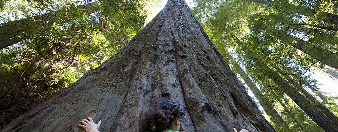 """为什么巨杉是 """"世界巨木之首""""?"""
