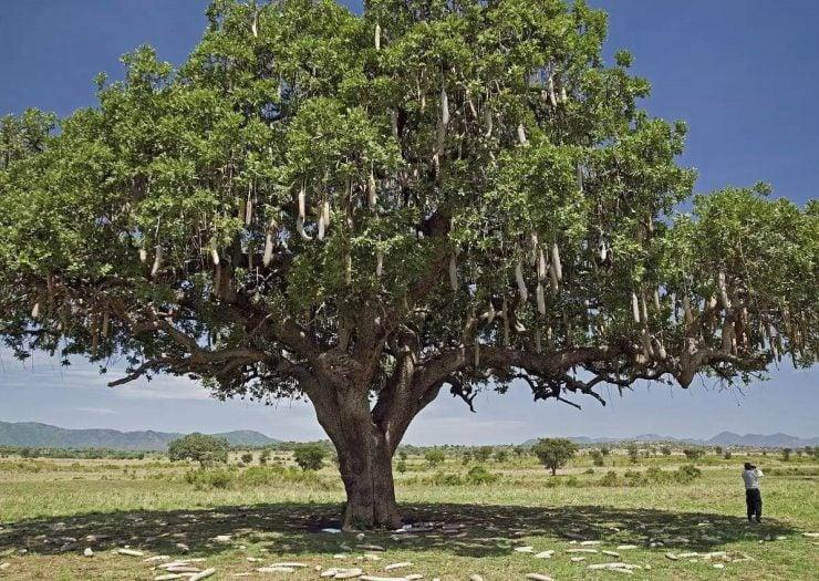 """为什么纺锤树可以提供""""自来水""""?"""