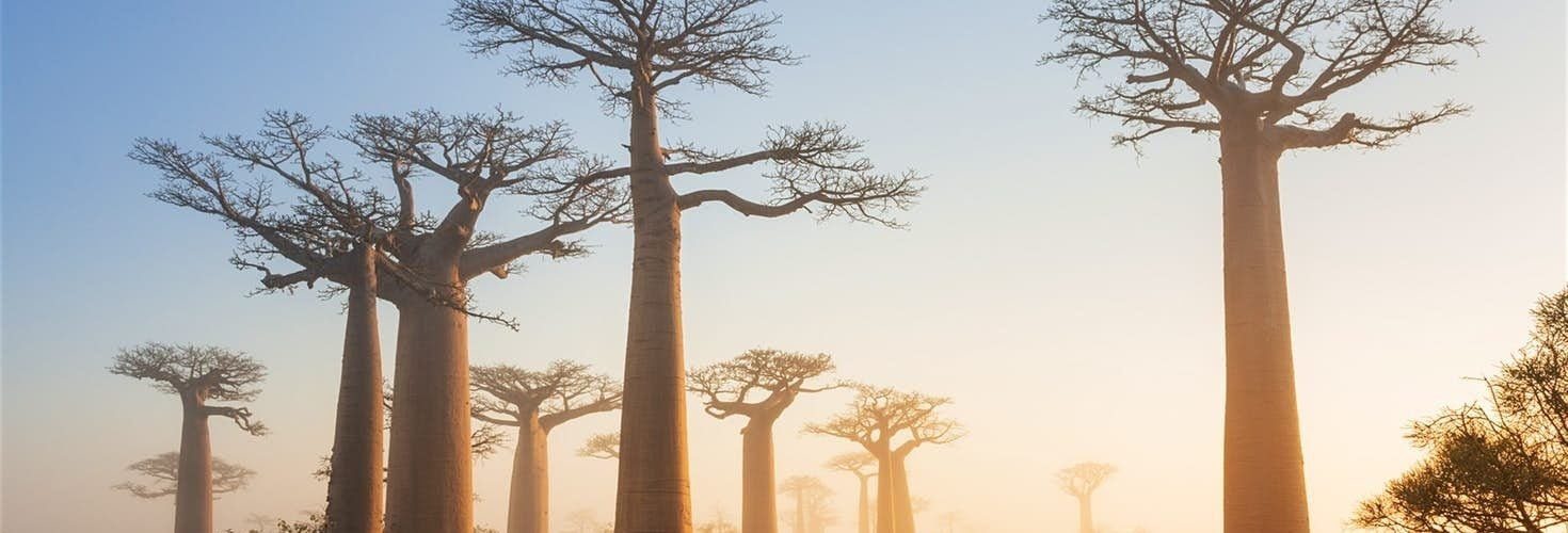 """为什么非洲人如此喜爱""""大胖子""""树?"""