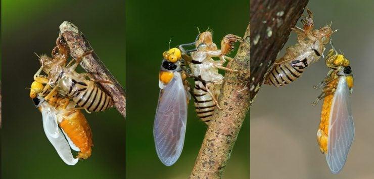 为什么昆虫会蜕皮?