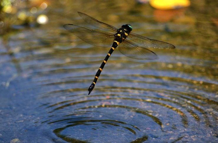 为什么蜻蜓要点水?
