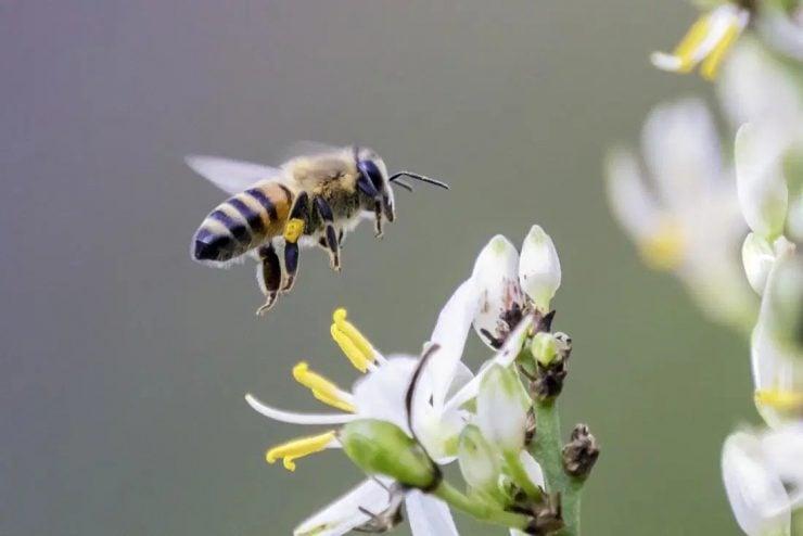 为什么蜜蜂蜇人后自己也会死掉?
