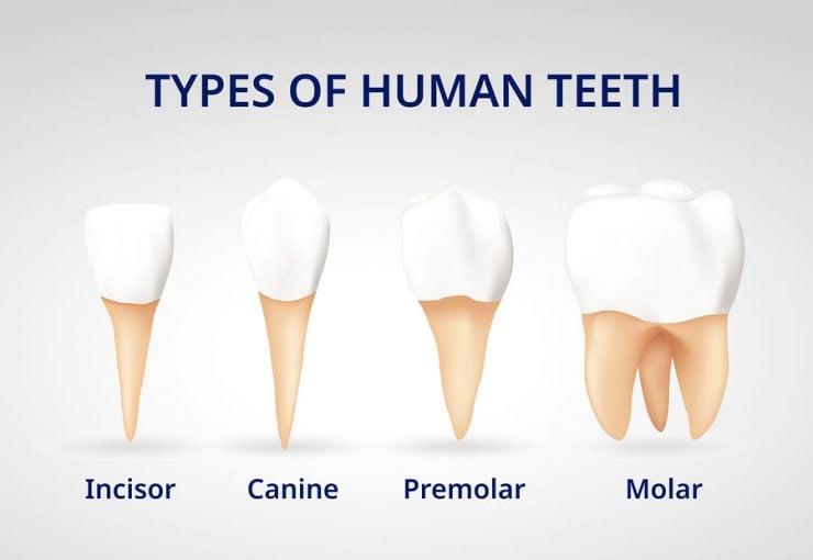 为什么牙齿有不同的形状?