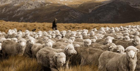 """为什么澳大利亚被称为""""骑在羊背上的国家""""?"""