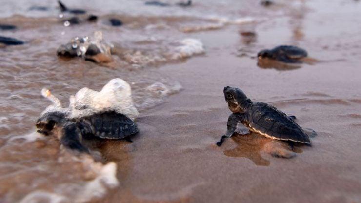 """为什么海龟能认识回""""故乡""""的路?"""