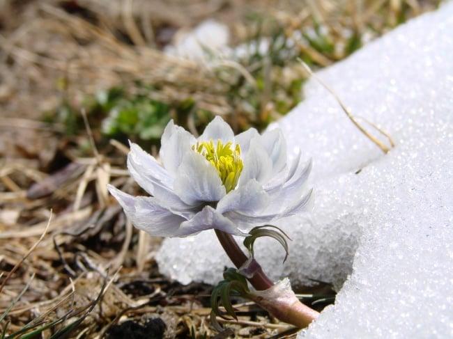 为什么雪莲花不畏冰雪高寒?