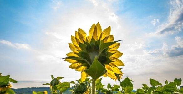 为什么向日葵的花总是朝着太阳?