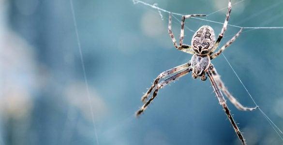 蜘蛛是昆虫吗?
