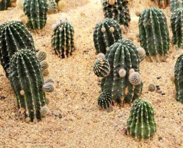 为什么仙人掌能在干旱炎热的沙漠中生存?