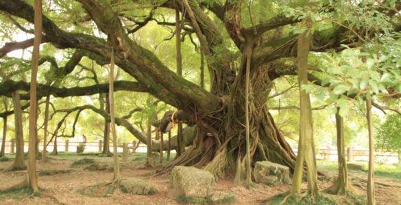 为什么榕树能独木成林?