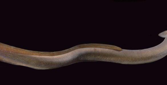 为什么盲鳗可以吃比它大得多的鱼?