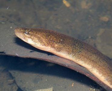 为什么黄鳝小时候是雌性,长大了却是雄性?