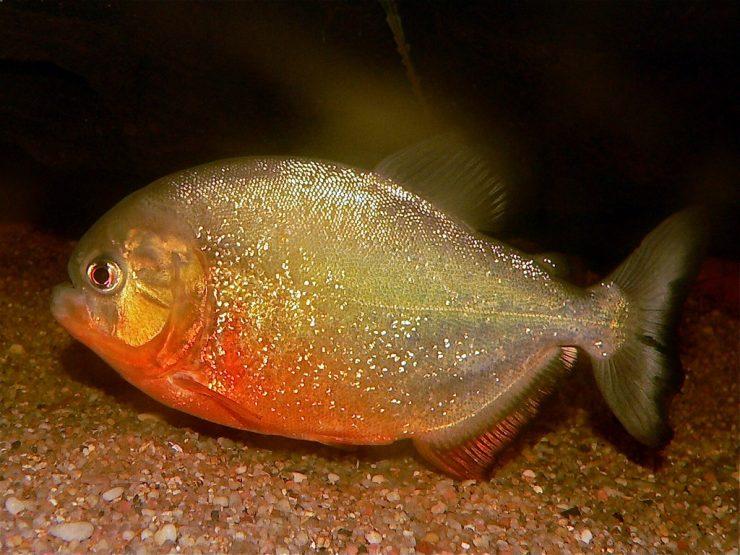 """为什么红比拉鱼被称为""""危险动物""""?"""