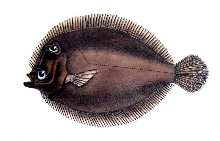 为什么比目鱼的眼睛长在一侧?