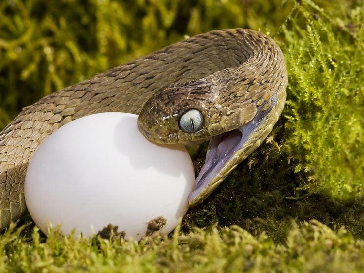为什么蛇能吞下比它的头大得多的食物?