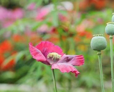 """为什么罂粟被称为""""有毒植物之王""""?"""