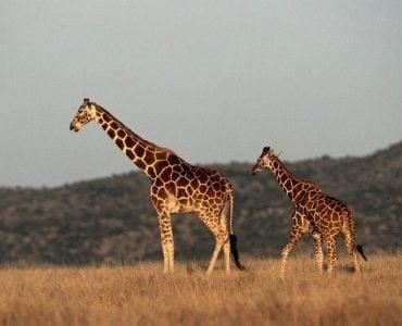 为什么长颈鹿的脖子特别长?