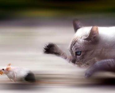 猫为什么要捉老鼠?