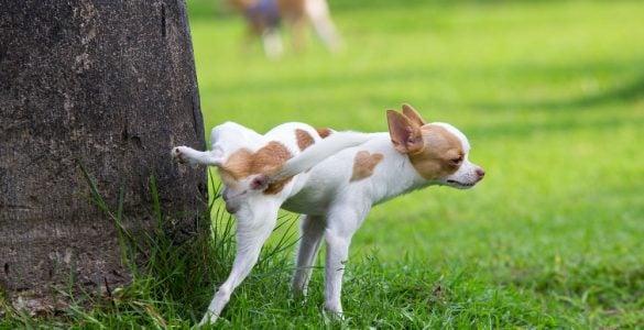 狗为什么要抬腿撒尿?